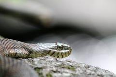 蛇本质上 库存照片