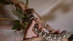 蛇沿分支在家爬行 在家庭宠物概念的角色的爬行动物 影视素材