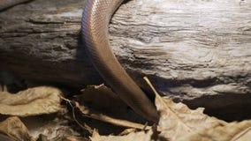 蛇沿分支在家爬行 在家庭宠物概念的角色的爬行动物 股票视频