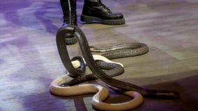蛇特写镜头在马戏的 r 在表现期间,有魅力者收集蛇渐增音量马戏竞技场 ?? 库存照片