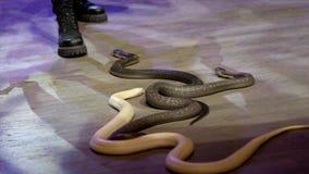 蛇特写镜头在马戏的 r 在表现期间,有魅力者收集蛇渐增音量马戏竞技场 ?? 免版税图库摄影