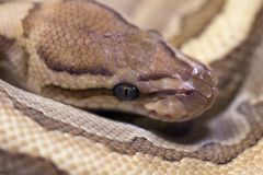 蛇的宏观图片 库存照片