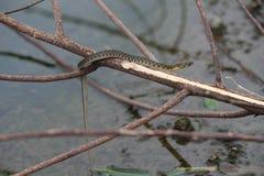 水蛇的特写镜头 库存图片