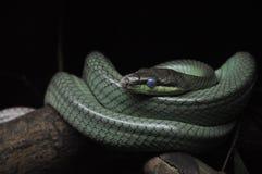 蛇的美丽的蓝眼睛 免版税库存照片