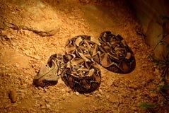 蛇的陈列 库存照片