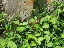 蛇看在草外面 免版税库存图片