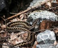 蛇蝎 库存图片