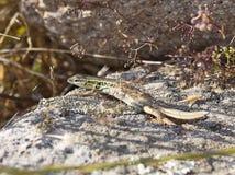蛇被注视的蜥蜴 库存图片