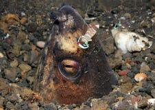蛇鳗鱼和伙伴虾 库存照片