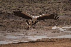 蛇鹫到土地在沼泽区域在Tarangire 免版税库存照片
