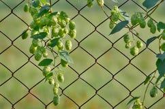 蛇麻草是大麻家庭植物类  免版税图库摄影