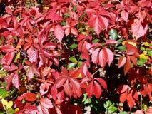 蛇麻草植物的秋天颜色篱芭的 免版税库存照片