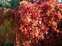 蛇麻草植物的秋天颜色篱芭的 图库摄影