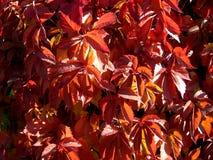 蛇麻草植物的秋天颜色篱芭的 免版税库存图片