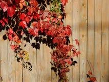 蛇麻草植物的秋天颜色篱芭的 库存图片