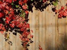 蛇麻草植物的秋天颜色篱芭的 库存照片