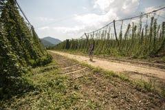 蛇麻草的绿色领域 免版税库存图片