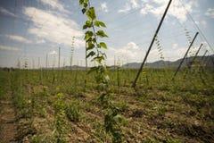 蛇麻草的绿色领域 图库摄影