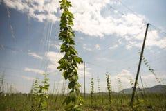 蛇麻草的绿色领域 免版税库存照片