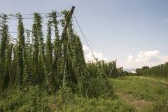 蛇麻草的绿色领域 库存照片