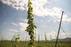 蛇麻草的绿色领域 免版税图库摄影