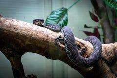 蛇,岸在树的坑蛇蝎 免版税库存图片