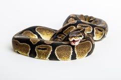 蛇:皇家Python 免版税库存照片