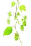 蛇麻草小树枝与锥体的 免版税库存图片
