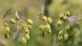 蛇麻草律草属在藤的lupulus花 影视素材