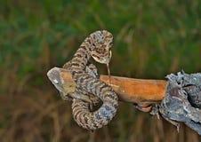 蛇(蝮蛇属saxatilis) 11 库存照片