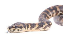 蛇 免版税库存图片
