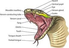 蛇嘴 向量例证