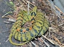 蛇(Rhabdophis tigrina) 免版税图库摄影