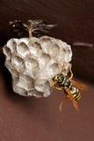 蛋嵌套黄蜂 图库摄影