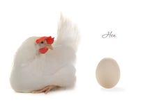 蛋母鸡 图库摄影