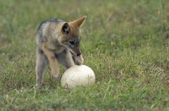 蛋狐狼驼鸟 免版税库存照片