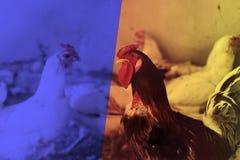 蛋营养的鸡母鸡农厂有机家庭宠物新鲜从自然 定调子与镶边行式映象 免版税库存照片