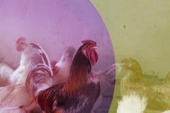 蛋营养的鸡母鸡农厂有机家庭宠物新鲜从自然 定调子与镶边行式映象 免版税库存图片