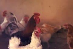 蛋营养的鸡母鸡农厂有机家庭宠物新鲜从自然 被定调子的图象 免版税库存图片