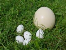 蛋驼鸟s 库存图片