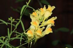 蛋黄草类利纳里亚寻常的野花开花群 免版税库存图片