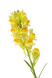 蛋黄草类Linaria寻常的花 免版税图库摄影