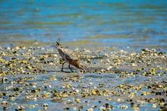 蛎鹬在出海口 免版税图库摄影