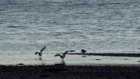 蛎鹬飞行着陆海湾苏格兰100 IPS HD 股票视频