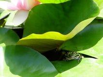 蛙下睡莲叶 免版税库存照片