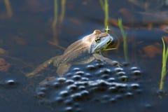 蛙属arvalis 在他的鸡蛋旁边停泊青蛙特写镜头 免版税库存照片