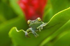 蛙属de厄瓜多尔 图库摄影
