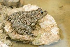 蛙属ridibunda 库存照片