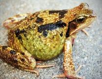 蛙属temporaria (共同的青蛙) 库存图片