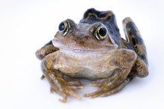 蛙属temporaria 库存照片